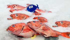 Pacific red snapper on ice Stock Photo