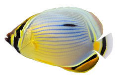 Pacific Redfin Butterflyfish. Isolated in white background. Chaetodon lunulatus stock photos