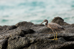 Pacific reef egret Royalty Free Stock Image