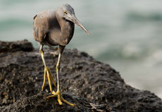 Pacific reef egret Royalty Free Stock Photo