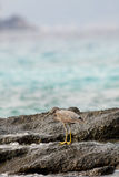 Pacific reef egret Stock Photo