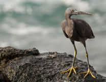 Pacific reef egret Royalty Free Stock Images