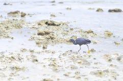 Pacific Reef Egret or Egretta sacra bird Royalty Free Stock Photo