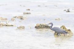 Pacific Reef Egret or Egretta sacra bird on the beach Stock Image