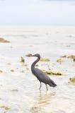 Pacific Reef Egret or Egretta sacra bird Royalty Free Stock Image