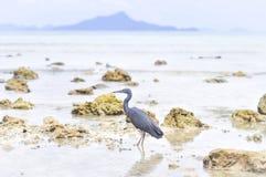 Pacific Reef Egret or Egretta sacra bird Stock Photo