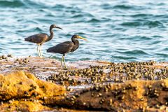 The Pacific Reef-Egret. In Wai Ling Ding island of ZhuHai, Guangdong province, China royalty free stock photos