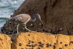 The Pacific Reef-Egret. In Wai Ling Ding island of ZhuHai, Guangdong province, China stock photo