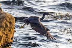The Pacific Reef-Egret. In Wai Ling Ding island of ZhuHai, Guangdong province, China stock image