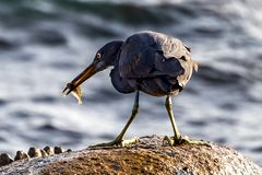 The Pacific Reef-Egret. In Wai Ling Ding island of ZhuHai, Guangdong province, China royalty free stock photography