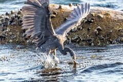 The Pacific Reef-Egret. In Wai Ling Ding island of ZhuHai, Guangdong province, China stock photos