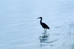 Pacific Reef Heron - Aitutaki Lagoon Cook Islands Royalty Free Stock Photos