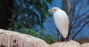 The Pacific reef heron. Close up stock footage