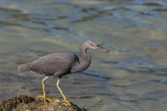 Pacific reef heron (dark morph) hunting for crabs among the rocks on the beach Stock Images