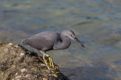 Pacific reef heron (dark morph) hunting for crabs among the rocks on the beach Royalty Free Stock Photos
