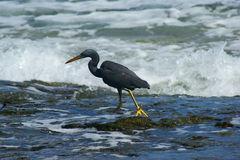 Pacific Reef Heron Royalty Free Stock Images