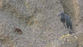 Pacific reef heron hunts for fish stock footage