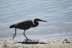 Pacific reef heron on the run Royalty Free Stock Photos
