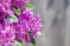 Pacific Rhododendron Stock Image