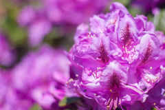 Pacific Rhododendron. Horizontal closeup image of Pacific Rhododendron Stock Image
