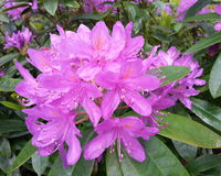 Pacific Rhododendron. Purple Pacific Rhododendron Flower Rhododendron macrophyllum royalty free stock images