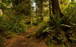 Pacific Rim Rainforest Royalty Free Stock Photo