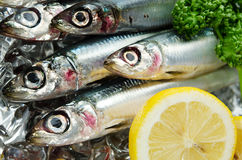 Pacific round herring Royalty Free Stock Photography