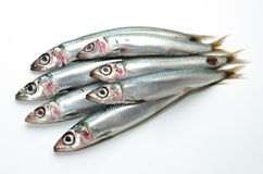 Pacific round herring Stock Photography