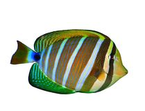 Pacific Sailfin Tang (Zebrasoma veliferum) Royalty Free Stock Images