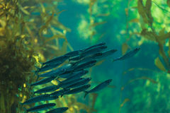 Pacific sardine fish, Ardinops sagax. School together in a kelp forest aquarium Royalty Free Stock Photo