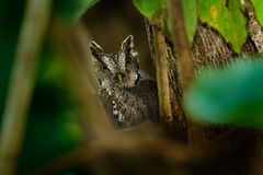 Pacific Scrrech-owl, Megascops cooperi, little owl in the nature habitat, sitting on the green spruce tree branch, forest in the b. Pacific Scrrech-owl Royalty Free Stock Image