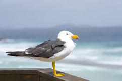 Pacific Sea Gull Royalty Free Stock Image
