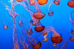 Pacific Sea Nettle Royalty Free Stock Photography