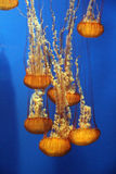 Pacific sea nettle Stock Image