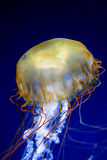 Pacific sea nettle (Chrysaora fuscescens) Royalty Free Stock Images
