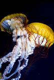 Pacific sea nettle Chrysaora fuscescens Royalty Free Stock Photos