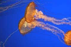 Free Pacific Sea Nettle, Chrysaora Fuscescens, Monterey Aquarium, USA Stock Photos - 88736613