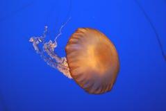 Pacific sea nettle, Chrysaora fuscescens, Monterey aquarium, USA Stock Photo