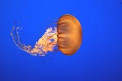Pacific sea nettle, Chrysaora fuscescens, Monterey aquarium, USA Royalty Free Stock Images