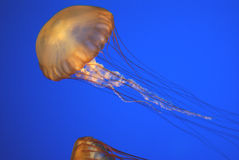 Pacific sea nettle, Chrysaora fuscescens, Monterey aquarium, USA Stock Photography