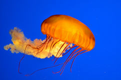 Pacific Sea Nettle(Chrysaora fuscescens) Stock Images