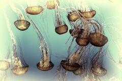 Pacific Sea Nettle Fishing for a Meal Stock Photography