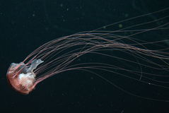 Pacific sea nettle Jellyfish Stock Photography
