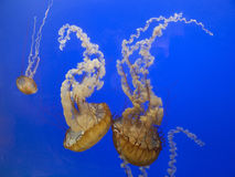 Pacific sea nettle jellyfish. Stinging Pacific sea nettle jellyfish Chrysaora fuscescens Royalty Free Stock Photography
