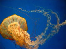 Pacific sea nettle (jellyfish) in motion Stock Image