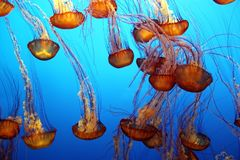 Pacific sea nettle Stock Photo