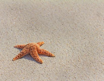 Pacific sea star( Asterias amurensis) Stock Image