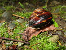 Pacific Sideband Snail - Monadenia fidelis Royalty Free Stock Photos