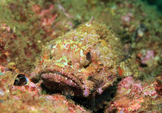 Pacific Spotted Scorpionfish Royalty Free Stock Images