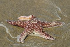 Pacific starfish. Startfish on Pacific beach in Washington - north west country in States Stock Images